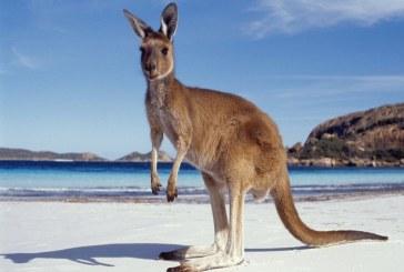 كنغر يقتحم منزلا في أستراليا بعد هروبه من مركز الحيوانات